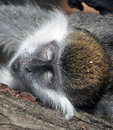 Monkey`s head with closed eyes close-up Royalty Free Stock Photo
