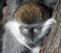 Monkey`s peacefull head with closed eyes close-up Royalty Free Stock Photo