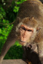 Monkey see good mood but really committed Royalty Free Stock Photography