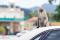 Monkey a sits on top of the car Stock Photos