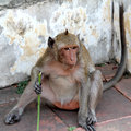Monkey sitting on the brick Stock Photos