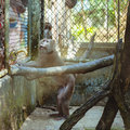 Monkey sitting in a cage zoo hungry captivity at the thailand Stock Image