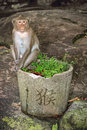 Monkey sitting on garden pot with green grass and chinese hieroglyph for monkey portrait of Stock Photography