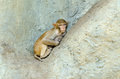 Monkey sleep Royalty Free Stock Photo