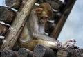 Monkey sleeping a in chiang mai zoo Stock Image