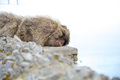 Monkey sleeping on the rock