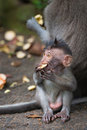 Monkey small chind macaque child learn to bite hard food near his mother Stock Images