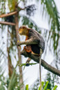 Monkey squirell eating at the edge of the branch Royalty Free Stock Photo