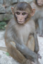 Monkey with staring eyes face of peering around a rock Royalty Free Stock Image