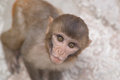 Monkey with staring eyes face of peering up interest Stock Photos