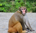 The monkey is staring at you a sitting on edge of trail Royalty Free Stock Photo