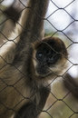 Monkey starring through cage in the honolulu zoo the Royalty Free Stock Images