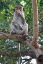 Monkey in three Royalty Free Stock Photo