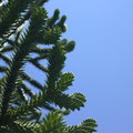 Monkey tree and blue sky Royalty Free Stock Photography
