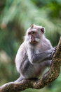 Monkey on tree branch in Ubud forest, Bali Stock Images