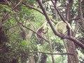 Monkey on trees in nature vintage style Royalty Free Stock Images