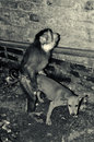Monkey vs dog funny action that i m found in my garage making love with puppy Royalty Free Stock Photos