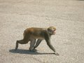 Monkey walking around on pavement a a macaque is paved asphalt in the city Stock Photos