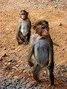 Monkey Watchman Royalty Free Stock Images