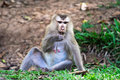 Monkey wild in thailand mammal wildlife macaque Royalty Free Stock Image