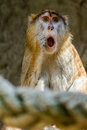 Monkey wondering in a cage Royalty Free Stock Images