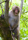 Monkey yelling young japanese snow japanese macaque in the fresh green Royalty Free Stock Photos
