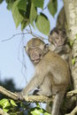 Monkey youths in tree Stock Images