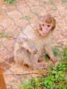 Monkey in the zoo park a little of poppi tuscany italy Royalty Free Stock Photo