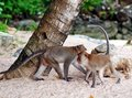 Monkeys on a beach in thailand Stock Photos