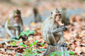 Monkeys crab eating macaque eating leaves in thailand Royalty Free Stock Image