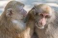 Monkeys of love Royalty Free Stock Photo