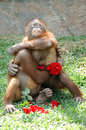 Monkeys in love with red rose Stock Photo
