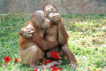 Monkeys in love with red rose Stock Photos