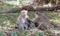 Monkeys in the park near temple of angkor wat Royalty Free Stock Images