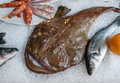 Monkfish or fishing-frogs, frog-fish, sea-devils, angler lies on the ice. Fish from Adriatic Sea. Lophius piscatorius. Sea food Royalty Free Stock Photo