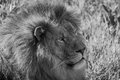 Mono close-up of male lion lying down Royalty Free Stock Photo