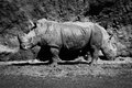 Mono close-up of two white rhinoceros eating Royalty Free Stock Photo
