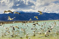 Mono lake california this image was captured at in something had startled the seagulls into taking flight the sierra nevada Royalty Free Stock Photos
