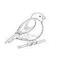 A monochrome sketch of a bird bullfinch vector art illustration on white background Stock Photography