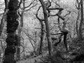Monochrome twisted spooky eerie winter trees in misty winter