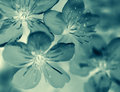 Monochromic photo of a blooming flowers macro blue green cherry Royalty Free Stock Photo