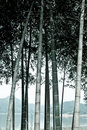 Monotone bamboo Stock Photography