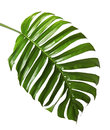 Monstera deliciosa leaf or Swiss cheese plant, isolated on white background Royalty Free Stock Photo