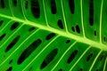 Monstera leaf Stock Images