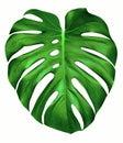Monstera leaf. Royalty Free Stock Photo