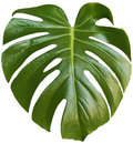 Monstera leaf white background Stock Photography