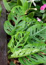 Monstera obliqua window leaf plant Royalty Free Stock Image