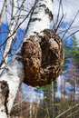 Monstrous excrescence on the white birch trunk large Royalty Free Stock Photography