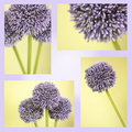 Montage of purple Alium flowers Royalty Free Stock Photos