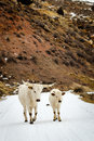 Montana cattle two walk a road in Royalty Free Stock Images